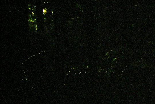 ヒメボタルの発光-1
