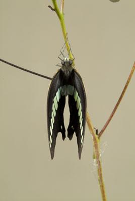 アオスジアゲハ羽化-4