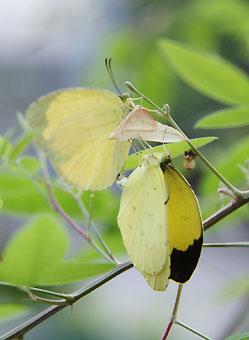 キチョウ羽化と交尾