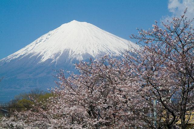 浅間大社の桜-2