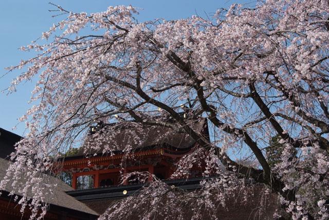 しだれ桜開花 3月22日-1