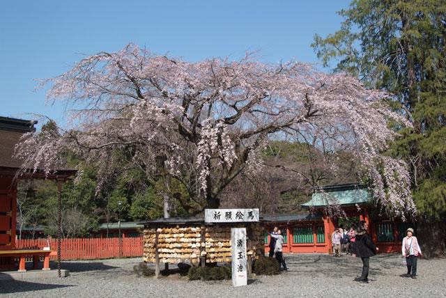 しだれ桜開花 3月22日-2