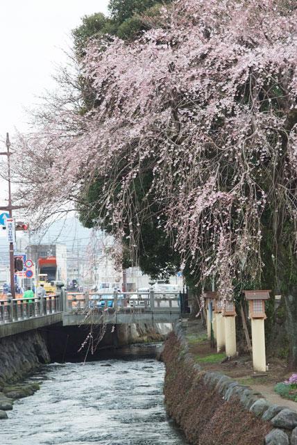 しだれ桜開花 3月22日-3