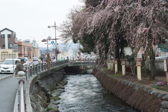 しだれ桜開花 3月22日-4