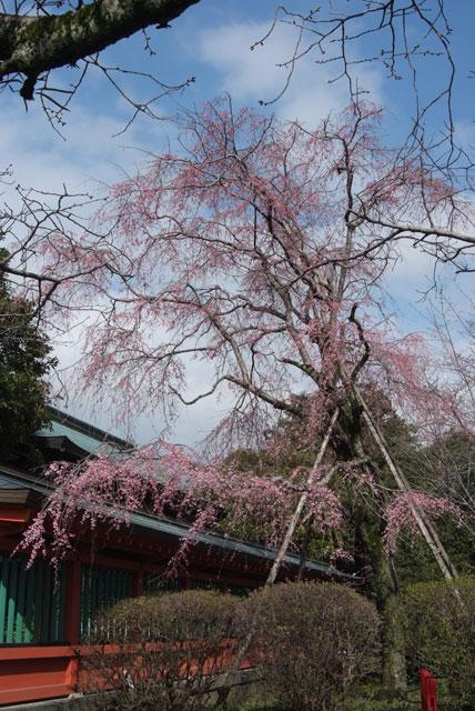 しだれ桜開花 3月24日-1