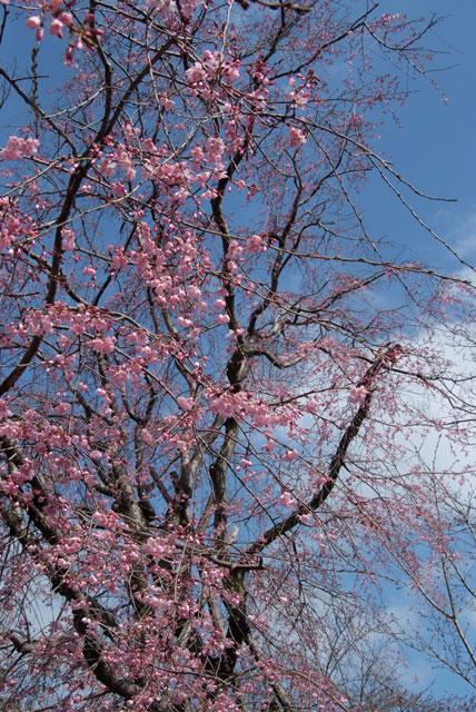 しだれ桜開花 3月24日-2