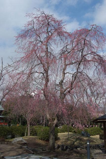 しだれ桜開花 3月24日-4