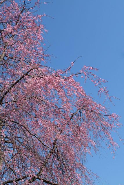 しだれ桜見頃-6