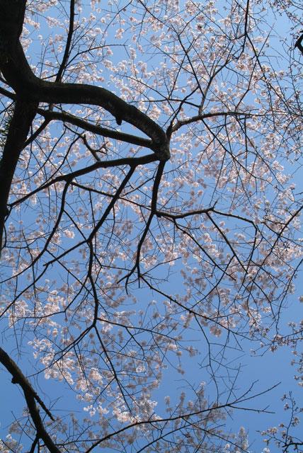 正面参道石鳥居南の桜
