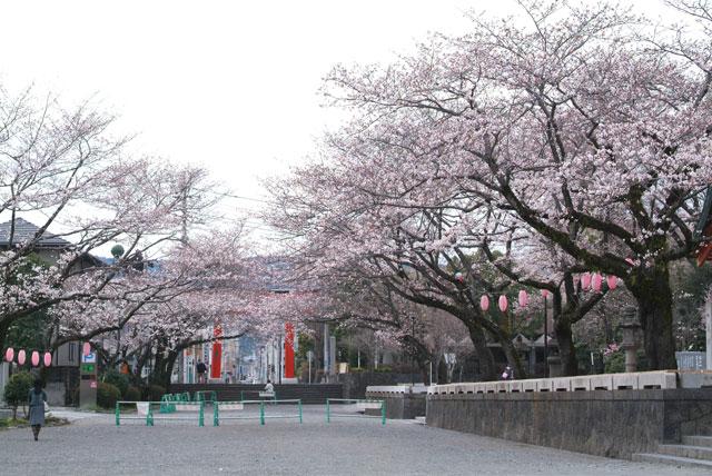 3月27日 浅間大社の桜-3