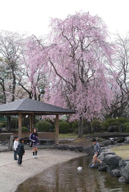 3月27日 浅間大社の桜-6