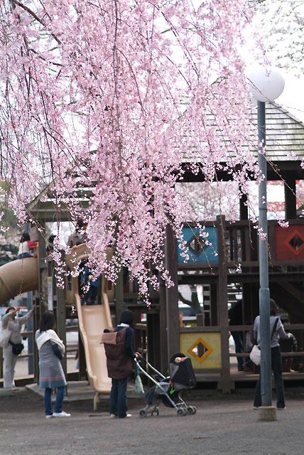 3月27日 浅間大社の桜-7