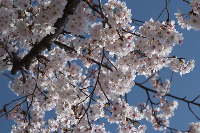 3月29日の桜-16
