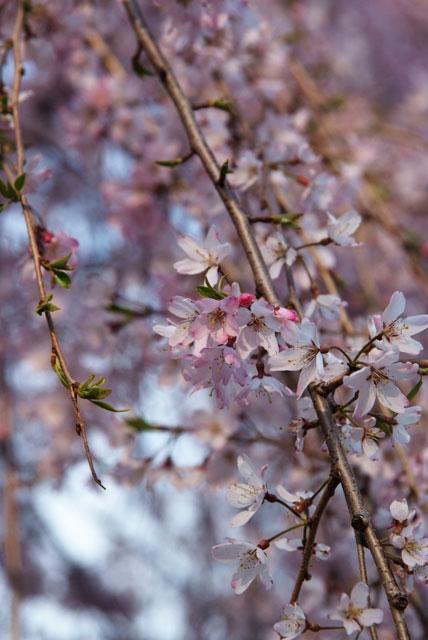 3月29日夕方の桜-4