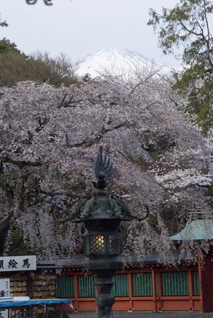 3月29日夕方の桜-6