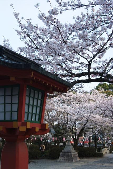 3月29日夕方の桜-7