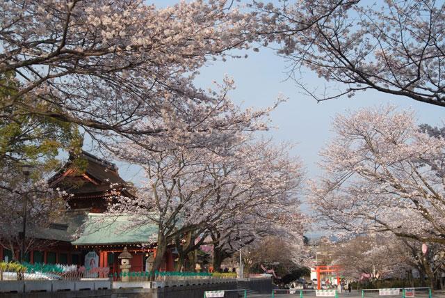 3月29日夕方の桜-8