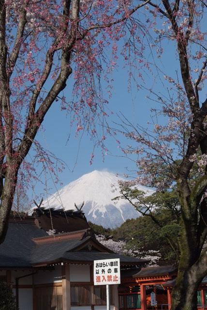 3月31日雨上がりの桜-1
