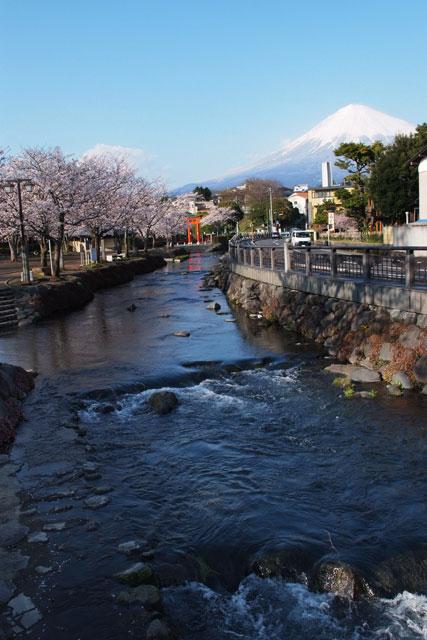 3月31日雨上がりの桜-6
