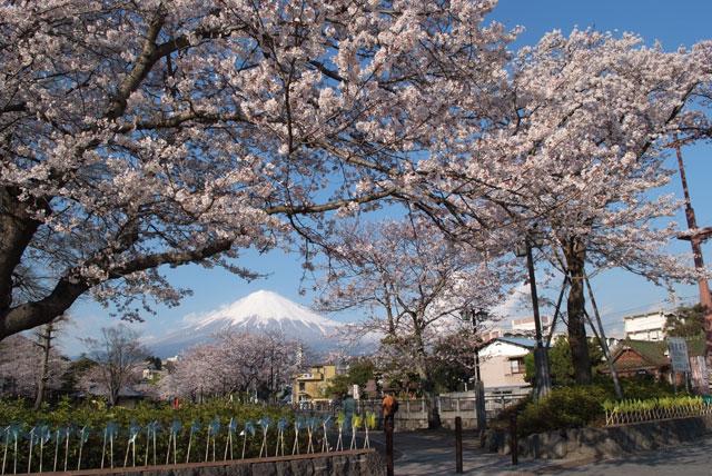 3月31日雨上がりの桜-9