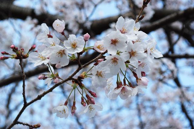 3月31日雨上がりの桜-10