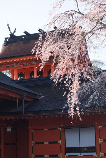3月31日雨上がりの桜-14
