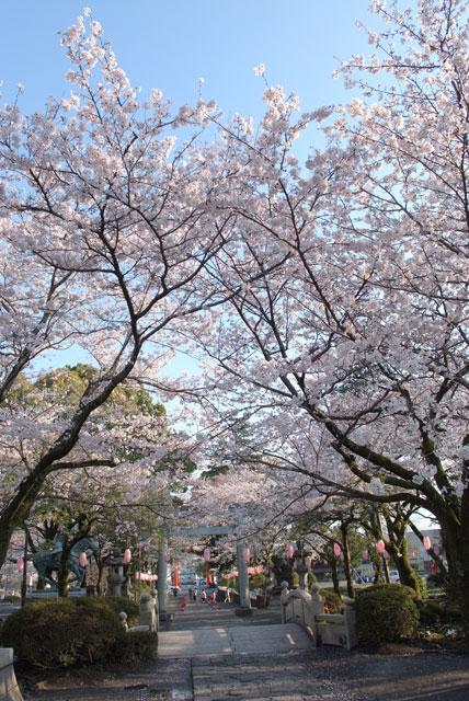 3月31日雨上がりの桜-16