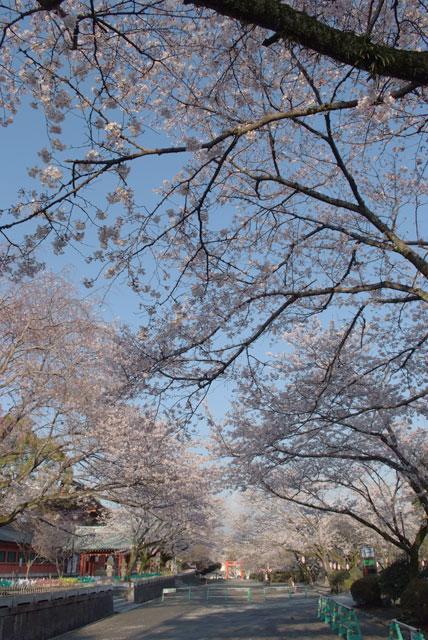 3月31日雨上がりの桜-20