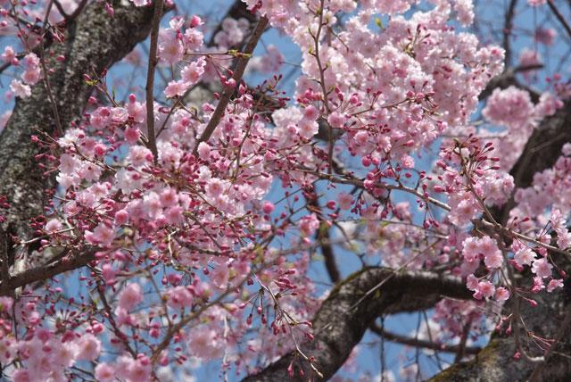 4月3日の桜-3