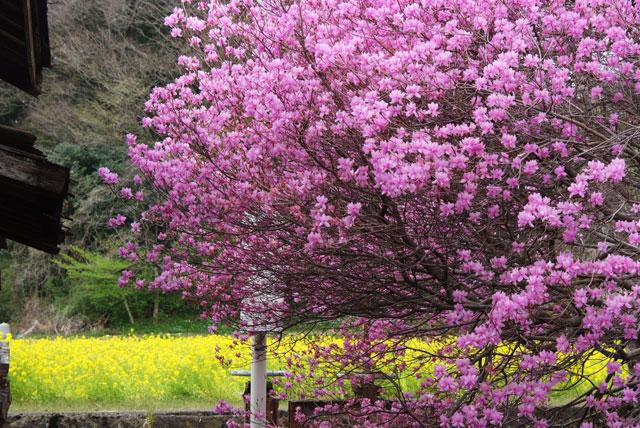 ミツバツツジと菜の花