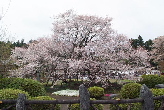 狩宿の下馬桜-1