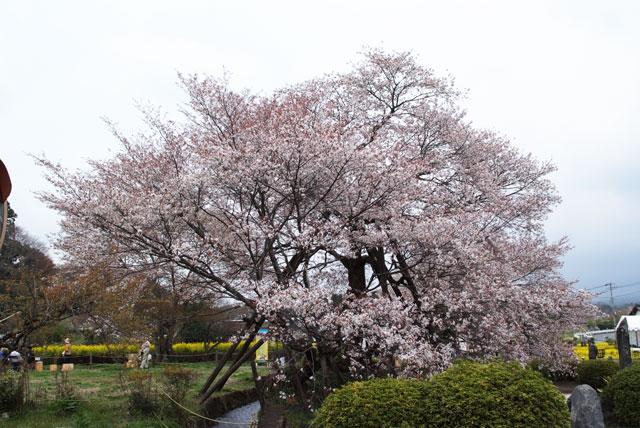 狩宿の下馬桜-3