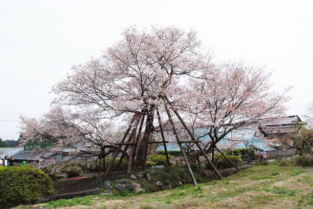 狩宿の下馬桜-4