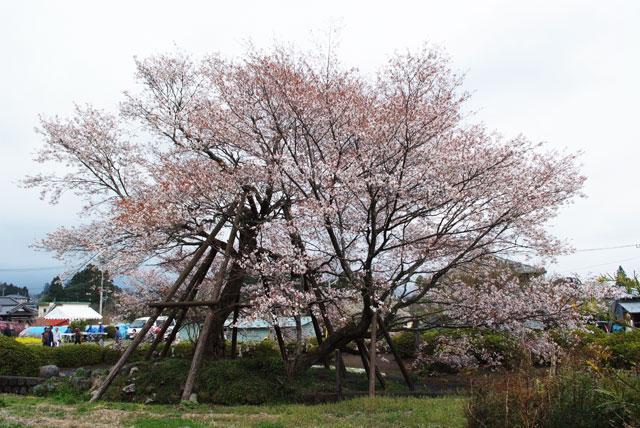 狩宿の下馬桜-5