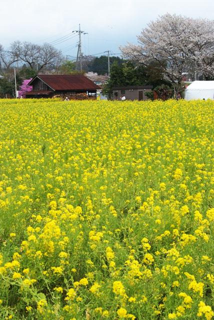 春の菜の花さくらまつり4月13日-4