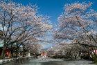 浅間大社の桜-1