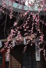 しだれ桜開花 3月24日-3