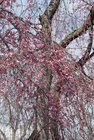 しだれ桜開花 3月24日-5