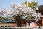 浅間大社の桜-5