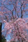 しだれ桜見頃-3