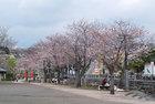 3月27日 浅間大社の桜-4