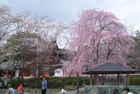 3月27日 浅間大社の桜-5