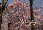3月28日の桜-2