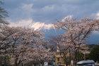 3月28日の桜-3