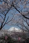 3月29日の桜-10