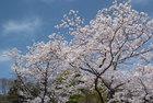 3月29日の桜-13