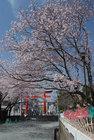 3月29日の桜-15