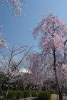 3月29日の桜-17