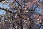 3月29日夕方の桜-1