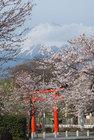 3月29日夕方の桜-3